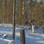 Snö och svarta stammar